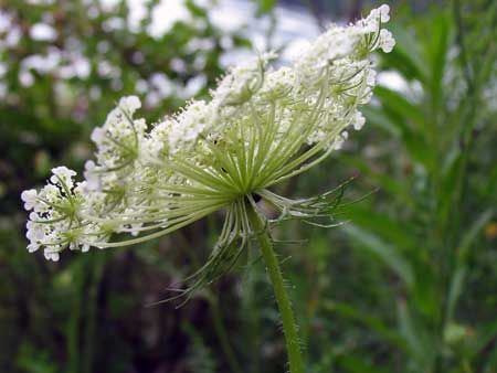 Wilderness Survival - Edible Plants - Wild Carrot