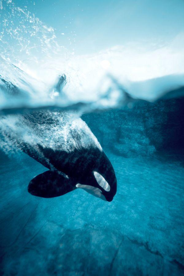 Je me souviens du chant des orques au bout du ponton de telegraph cove.