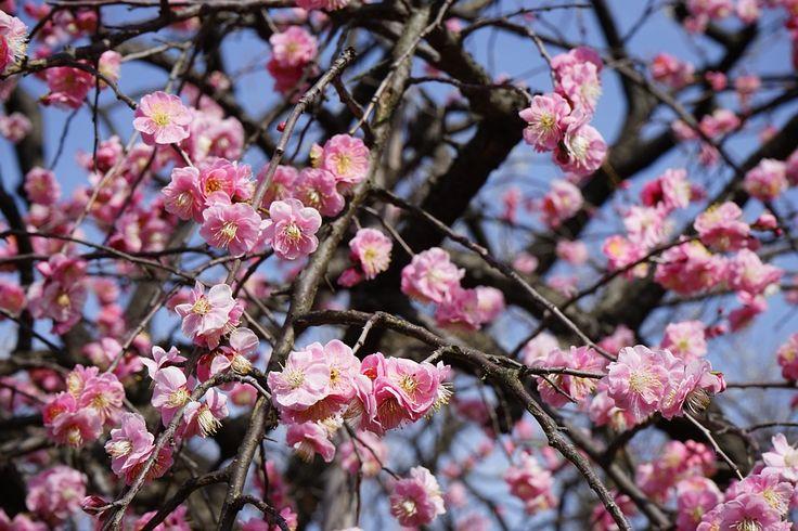Ροζ, Ιαπωνικά Δαμάσκηνο, Λουλούδι