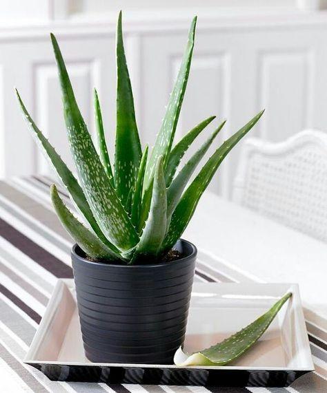 """Aloe Vera, 400'den fazla türü bulunan """"Aloe"""" bitkisinin tıbbi amaçlarla kullanılan çeşidinin ismidir. Aynı zamanda bilinen en eski ve..."""