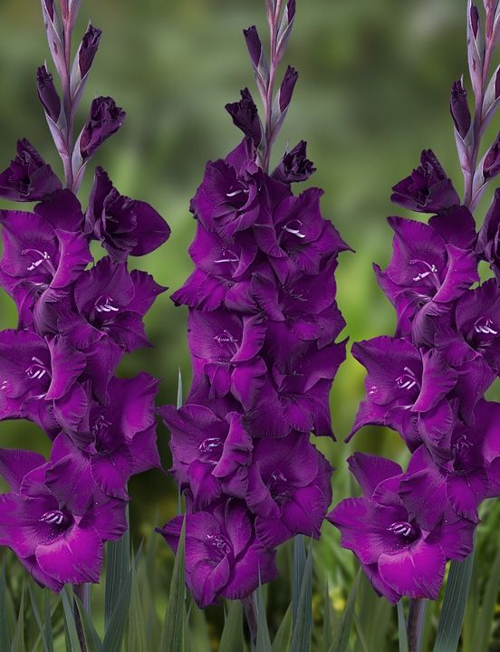 Name of this gladiolus: Astarte
