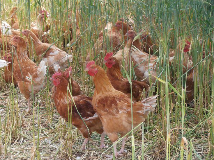 Hühnerhaltung in der Schweiz. Freiland Hühnermast, Poulet. Freilauf. tierfreundliche Fleischproduktion in der Schweiz. Auslauf im Roggen