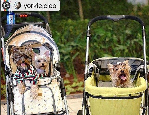 Our brothers Mylo n Muffin + Hazel . Minus Billy and Yorki sedang kencan berdua 😂 😍😍😍 #ibiyaya #イビヤヤ #이비야야 #petstroller #petbuggy #yorkshireterrier #yorkshire #yorkie