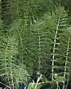Bestrijden onkruid als paardenstaart of heermoes is moeilijk met sproeistof of met de hand te doen. Equisetum is een lastig onkruid.