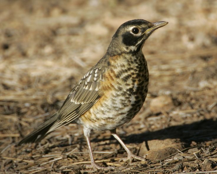 American Robin (Turdus migratorius) - Audubon Field Guide
