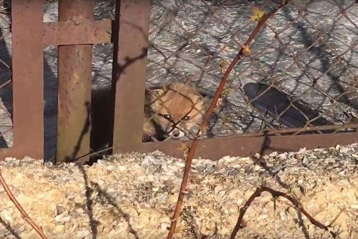 В Ленинградской области дачники спасли лисенка, на которого нападали дикие коты