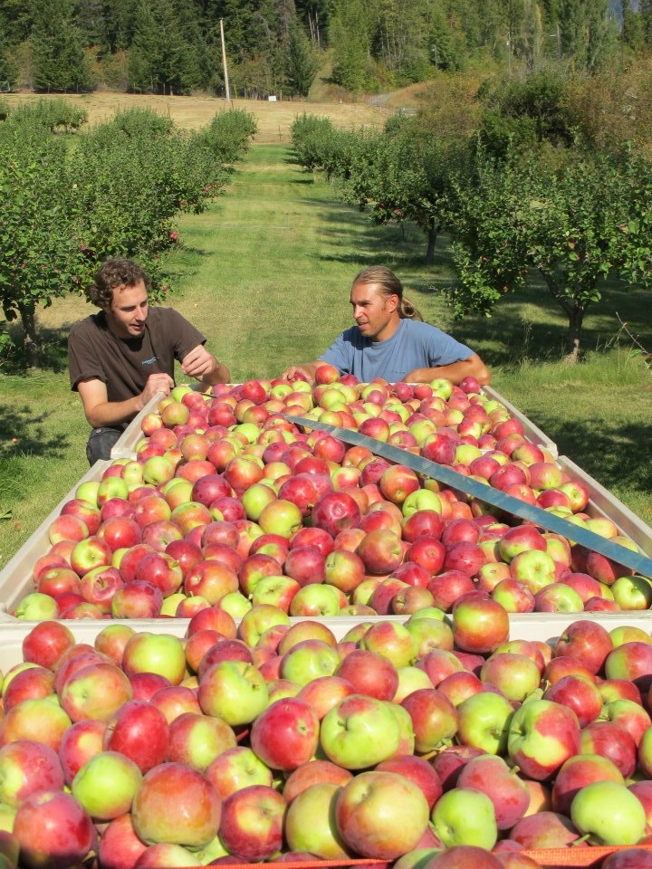 Tyler Schramm and Scott Taylor at Scott's orchard in Lillooet having just picked 3000 lbs of organic Mackintosh Apples.