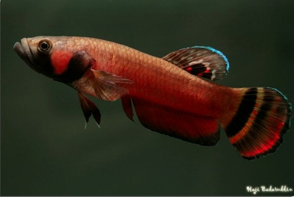 10 best images about dream fish on pinterest cichlids for Do fish make noise