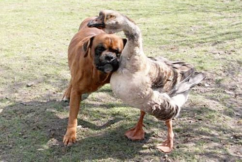 This heart-warming animal odd couple shows that love truly is blind! A blind boxer named Baks got a whole new lease on life thanks to a goose named Buttons. The goose leads Baks around everywhere either by hanging onto him with her neck, or by honking to tell him which way to go.: Sweet, Boxers Dogs, Pet, Blinds Dogs, Start Walks, Buttons, Blinds Boxers, Eye Goo, Animal