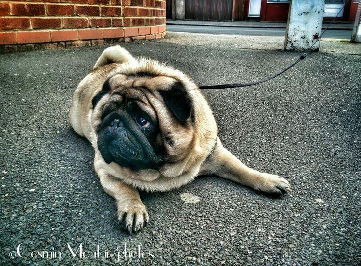The sad Pug :)