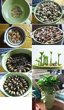 Lemon leaves smell so good. Awesome for kitchen, bathroom, or any place in the house. •1. Soak lemons seeds overnight 2. Gently remove outer layer of seeds 3. Put back into water as you prepare soil. 4. Plant lemon seeds in a circle pattern. 5. Place small pebbles on top of seeds 6. Water occasionally and watch it grow. Be patient, it takes a while for them to sprout but it's worth it!