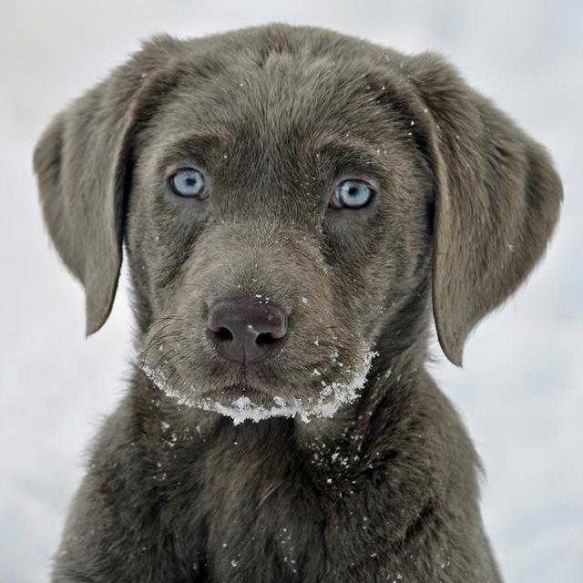 Silver Labrador Retriever Puppy