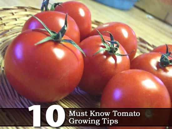 10 Must Know Tomato Growing Tips
