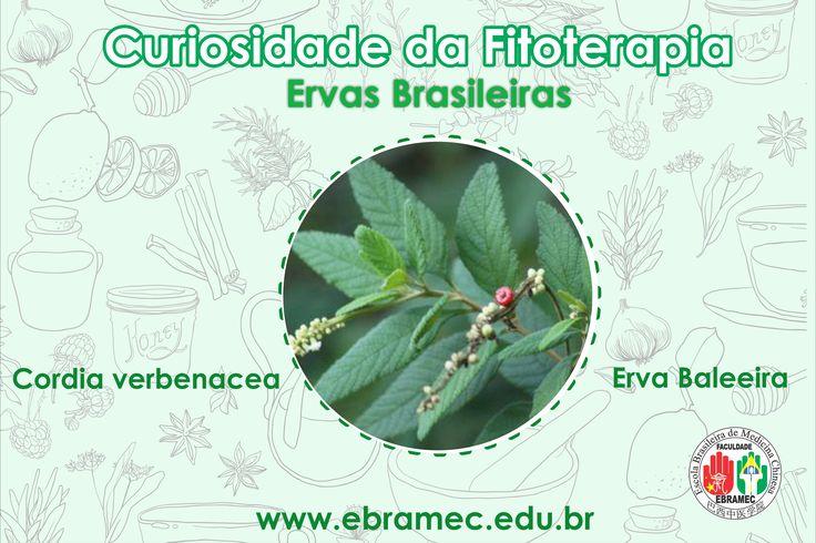 Apresentamos a Erva baleeira, uma das espécies de ervas pertencentes do Bioma, inclusive com o risco de entrar em extinção, veja porque e as propriedades em:    Não perca nosso curso de Fitoterapia com ervas brasileiras com início dias 24 e 25 de Junho Para mais informações e inscrição 0xx11 2662-1713 ou por mensagem no: 00xx11 97504-9170 (whatsapp) e também através do e-mail: ebramec@ebramec.com.br