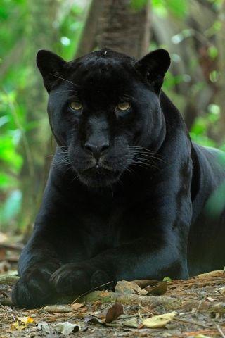 Les plus belles photographies de panthères noires, le plus timide et solitaire…