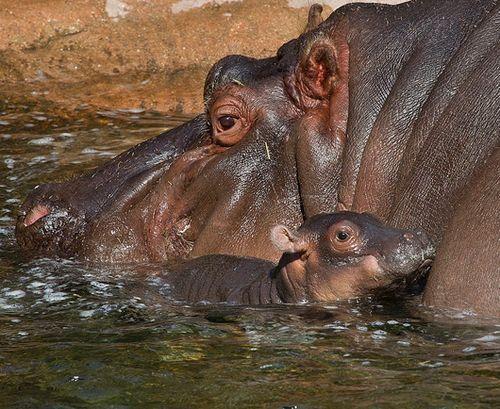 hippos!: Babies, Hippopotamus Baby, San Diego Zoos, Smaller Version, Baby Hippopotamus, Rivers Horses,  Hippopotamus Amphibius, Animal Hippo,  Rivers Horse