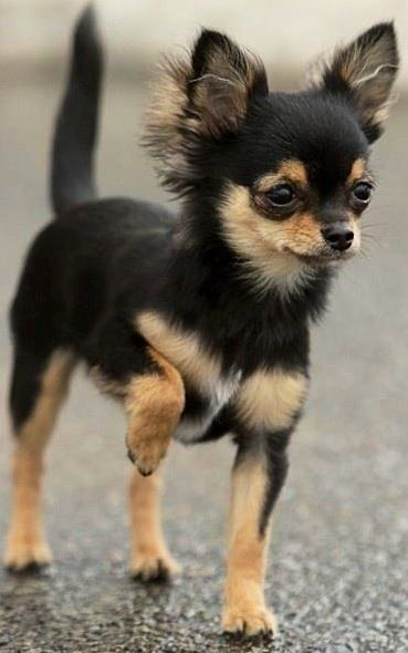 long-haired chihuahua via www.facebook.com/cutechihuahuafans                                                                                                                                                                                 More