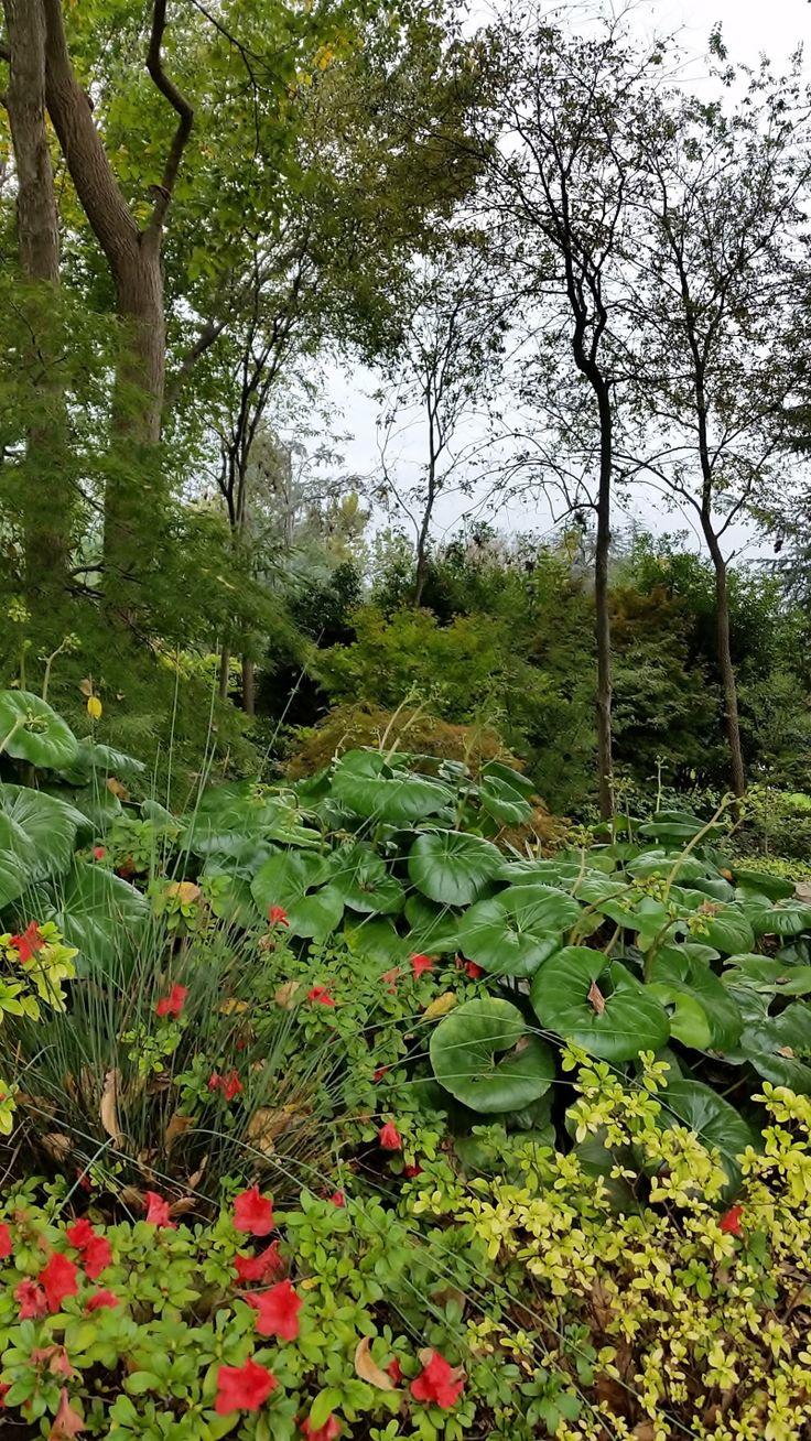 Tractor Seat Fuzzy Variegated Plants : The best leopard plant ideas on pinterest bog plants