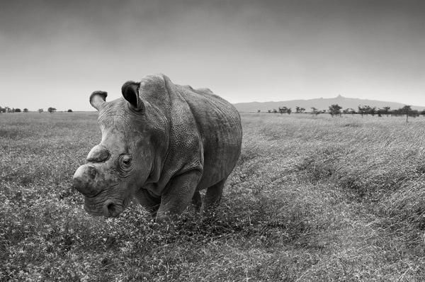 Sudan is the last male northern white rhinoceros in the world.