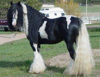 Wissen über Pferde - Irish Tinker