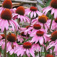 How To Treat Fibromyalgia Symptoms Naturally; Herbs & Herbal Natural Treatments for Fibromyalgia