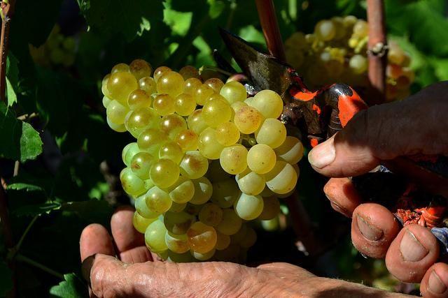 Le stime sui volumi di produzione della vendemmia 2015 della Commissione Europea parlano chiaro: l'Italia è prima (con 48,9 milioni di vino), davanti a Francia e Spagna