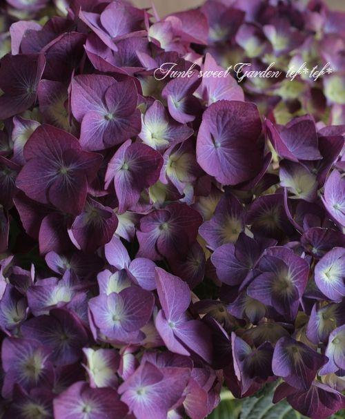 秋色紫陽花品種! ハイドランジア 紫陽花『LKパープル』 | 花苗,紫陽花 |  | Junk sweet Garden tef*tef* ガーデニング雑貨・花苗