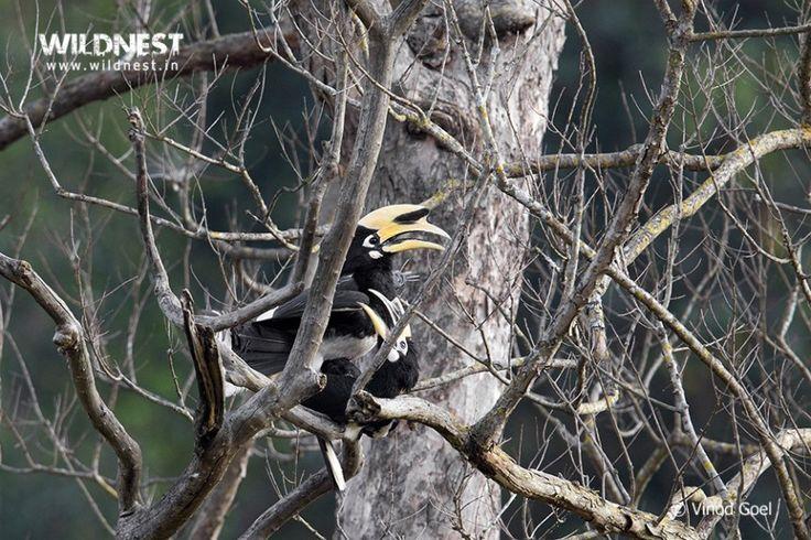 Pied Hornbill mating at Rajaji Vinod Goel Wildlife Photographer