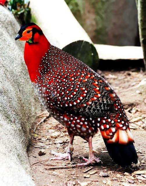 """Tragopans Bird.Estas aves se denominan comúnmente """"faisanes calientes"""" a causa de dos cuernos brillantes colores, carnosas en la cabeza que puedan erigir durante cortejo. El nombre científico se refiere a esto, al ser un compuesto de trago (billy cabra ) y la procaz deidad mitad cabra Pan (y en el caso de la tragopan sátiro, añadiendo compañeros de Pan para aún más énfasis). Su costumbre de anidar en los árboles es única entre phasianids."""
