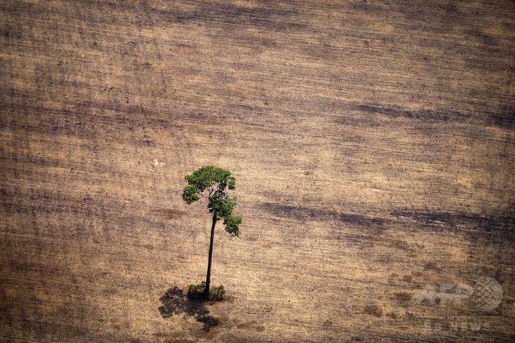ブラジル・パラ(Para)州のアマゾン(Amazon)熱帯雨林で、違法伐採された一帯に残された木(2014年10月14日撮影)。(c)AFP/Raphael Alves ▼16Oct2014AFP|上空から見たアマゾンの違法伐採現場 http://www.afpbb.com/articles/-/3029095 #Illegal_logging #Para_Brazil
