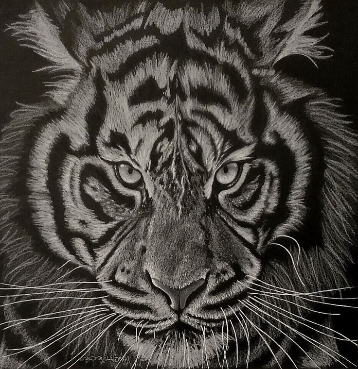 """White Tiger"" Coloured Pencil & Pastel on Black Illustration Board Drawn by: Michael McIntee"