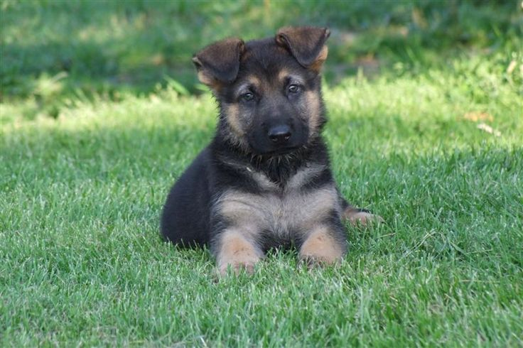 Small Purebred German Shepherd Puppies Images