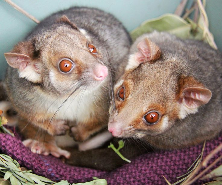 If only all siblings could get along like Atticus and Gabriella! We spotted the Ringtail Possum twins snuggling up together in the same nesting box this afternoon. The twins remain as close as ever after arriving at Taronga as orphaned joeys two years ago.