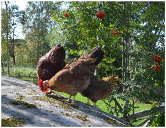 Frysa in rönnbär och ge hönsen på vintern