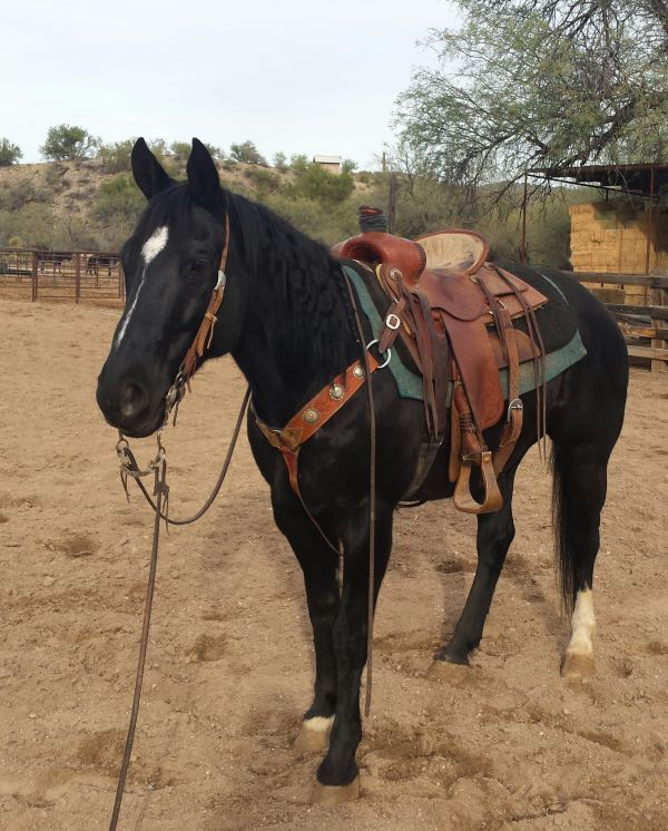 Black Jack - Black Quarter Horse Gelding in Wickenburg, Arizona 85390