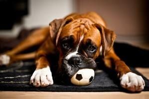 Boxer by andrea
