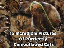 Camouflage is a well known technique used to avoid detection,the most obvious example of humans using it is in the army, a perfect way to be concealed and to surprise your enemy. Just like the army, cats are known to be masters of stealth and surprise, butbecause of their array of colours and