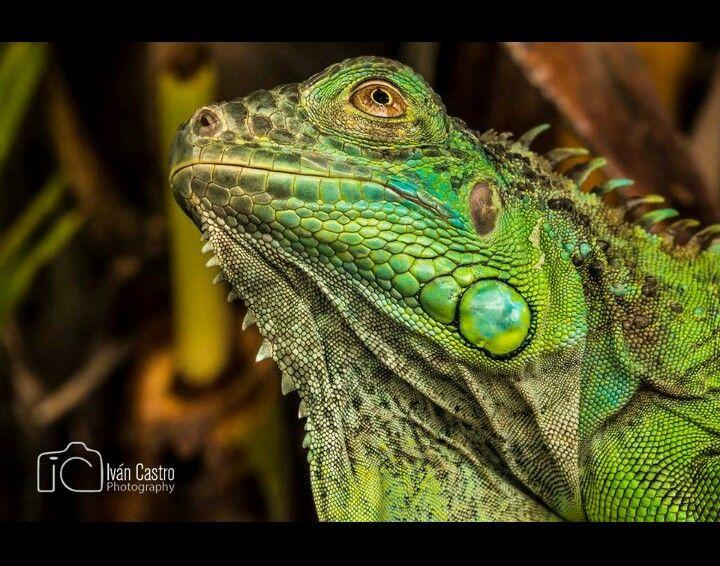 Iguana Lizard Varan Animals Reptile