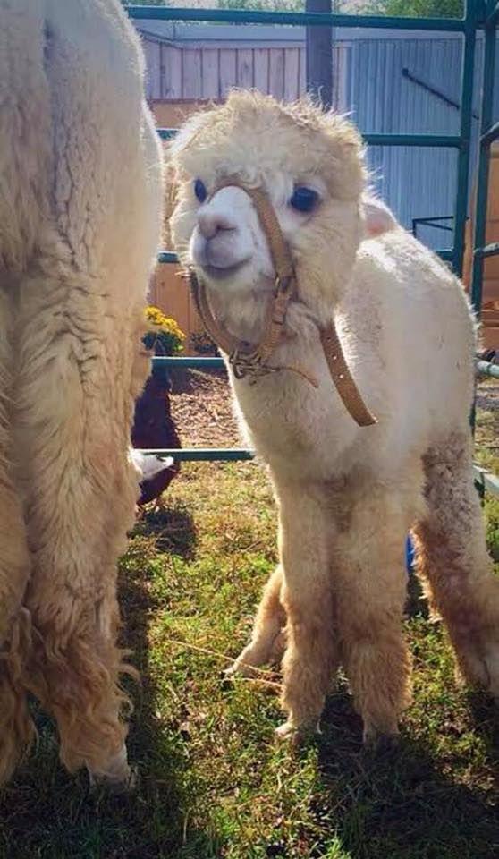 A Cria (baby alpaca) - #Alpacas