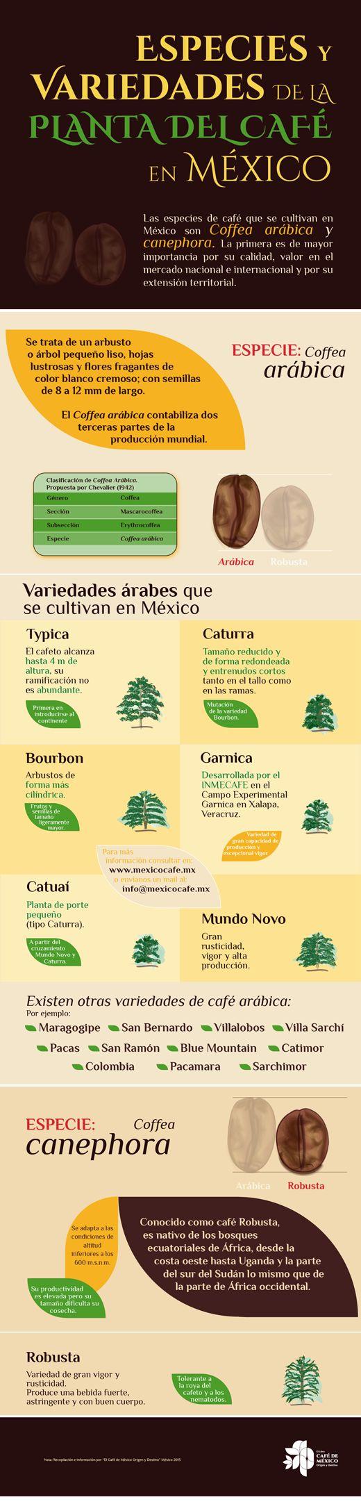 Especies y variedades de la planta del café en México. Las especies de café que se cultivan en México son Coffea arábica y Canephora.