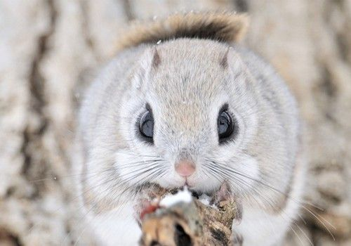 The Siberian Flying Squirrel photographed... at Scenery and Nature
