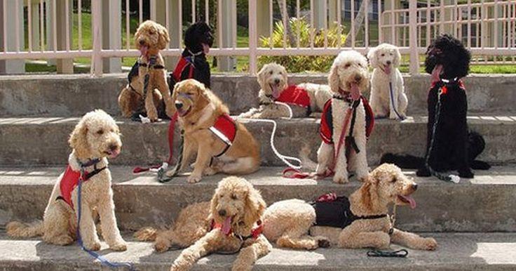 """Reações adversas à vacina contra a Bordetella em cães. Os cães que são frequentemente expostos a outros cães e filhotes devem ser vacinados contra a Bordetella, uma doença respiratória conhecida como """"tosse do canil"""", e clinicamente conhecida como traqueobronquite. Ambas são formas bacterianas e virais. Embora bastante incomum, a vacina contra Bordetella, assim como qualquer outra vacina, pode ter o ..."""