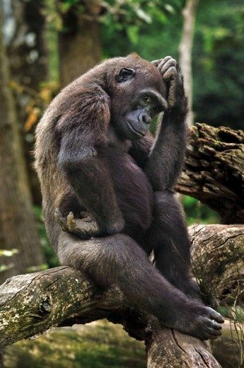The Gorilla, The Thinker #VisitUganda to see these guys wild in their element at Bwindi Impenetrable Forest by Sophie Narsès