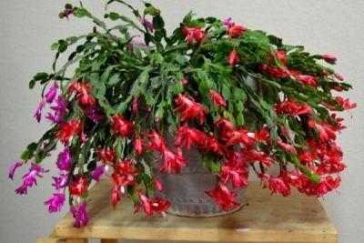 Crăciuniţa, ruda delicată a cactusului http://www.antenasatelor.ro/gradinarit/7523-craciunita,-ruda-delicata-a-cactusului.html