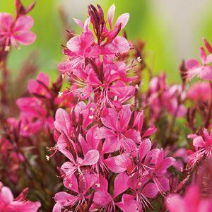 GAURA BABY BUTTERFLY ROSE - Garden Express