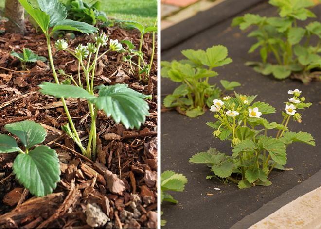 Как правильно выращивать клубнику, чтобы собрать богатый урожай красивых, сочных и сладких ягод? Все ответы  – в нашей статье.