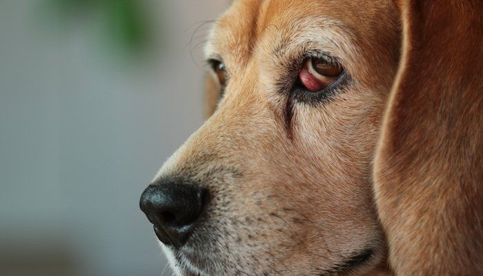 Cherry Eye In Dogs What It Means And How To Deal With It Cherry