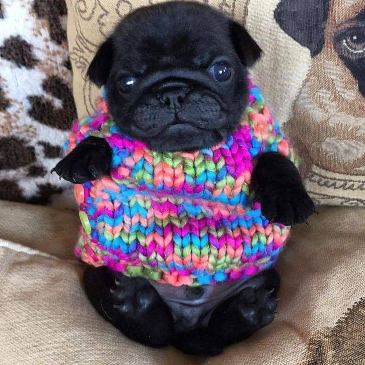 OMG I want him ❤ #pug #pugs #mops #carlino #パグ #doguillo #canino #dog #犬 #puppy #perro #perros #perrito #puglife #blackpug #puggle #pugpuppy #pugstagram #instapug #pugsofinstagram