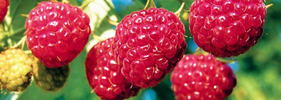 Everbearing Heritage Red Raspberry Bush: Planting, Care, Pruning and Harvesting Instructions.