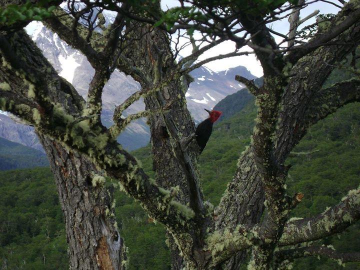 Carpintero Negro (macho ♂)
